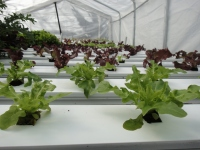 Aquaponic lettuce in the cold frame April 2013