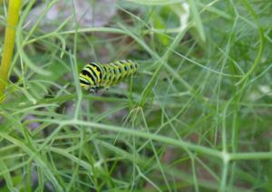 caterpillar close up, in the dill